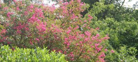 Lilas des indes dans un jardin