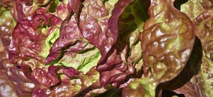 plant de salade pourpre