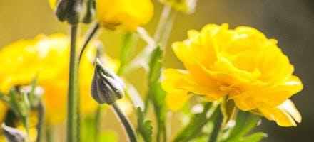 Renoncules avec fleurs jaunes