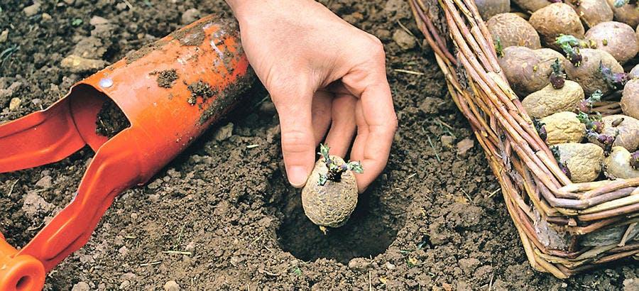 Plantation de pomme de terre germée