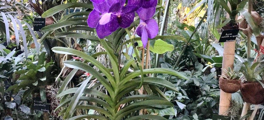 Orchidée suspendue dans les serres du jardin des Plantes de Paris