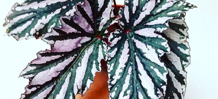 Bégonia rose et vert