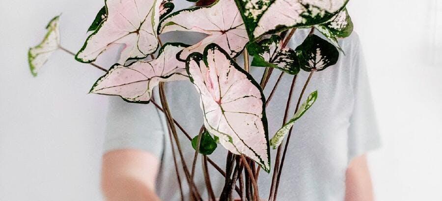 Caladium rose
