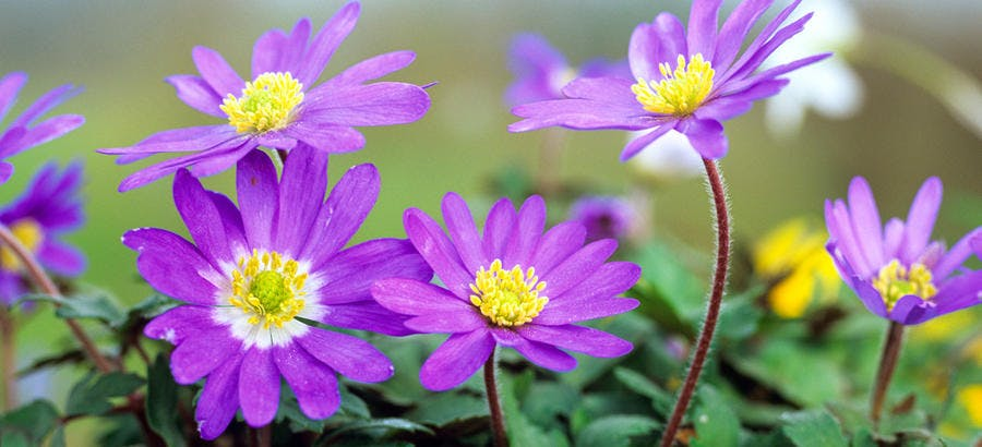 anemone blanda a fleurs mauves