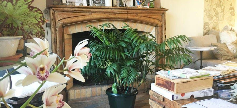 Cochenilles sur palmier d'intérieur