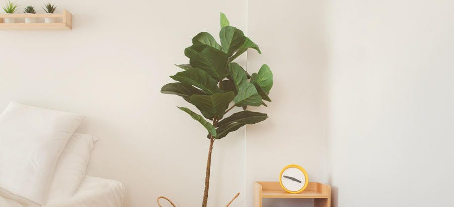 Ficus lyrata dans un pot, dans une chambre