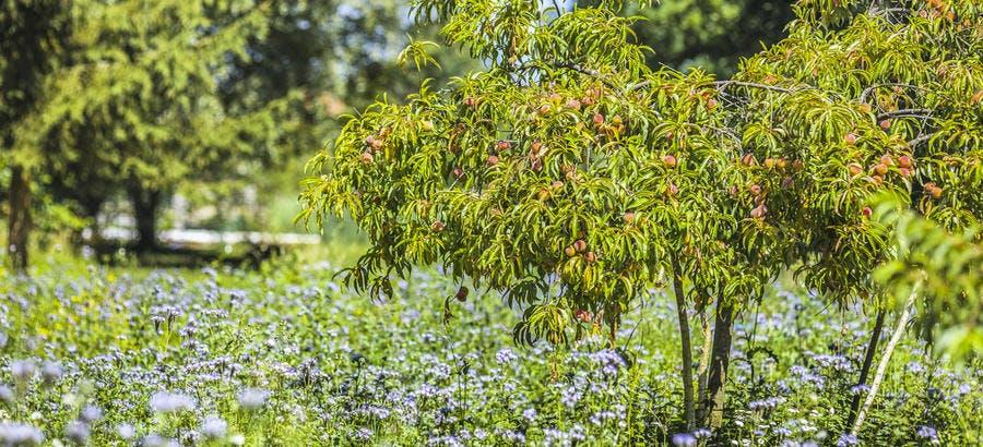 Fruitier protéger par une bande fleurie