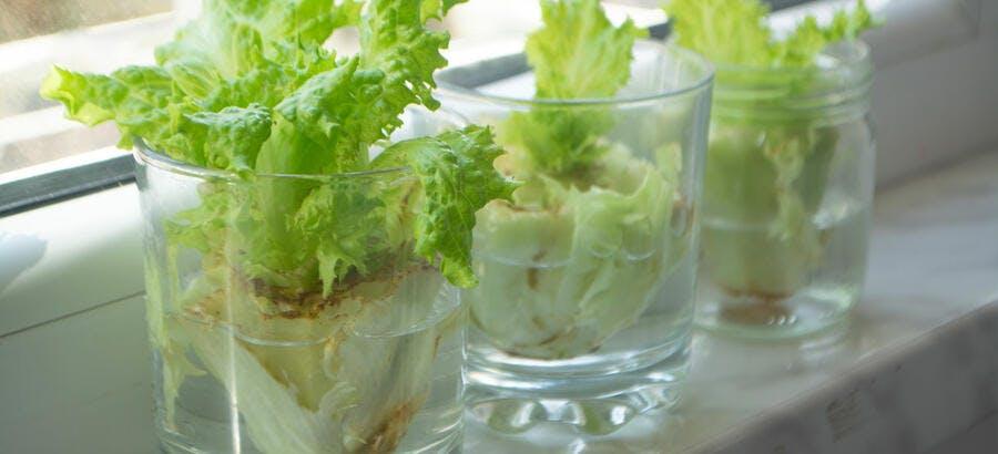 Salade cultivée dans l'eau