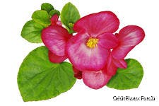 dj-121-fiche-pratique-fleurs-begonias-fotolia.jpg