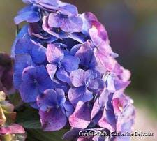 Hortensias aux fleurs bleues