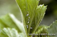 Des aleurodes sur une plante