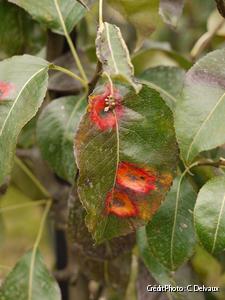 feuilles victimes de rouille