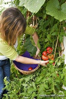 Entretien des pieds de tomates