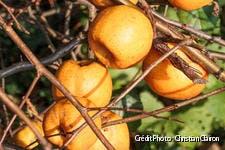 fruits des cognassiers du Japon