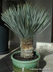 Yucca rostrata en pot