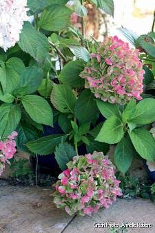 Hortensias en fleurs
