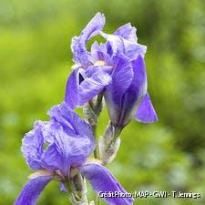 Une 'Lune Bleue', un bel iris remontant.