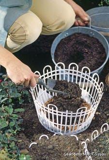Replantation des bulbes