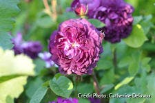 Rosier ancien violet
