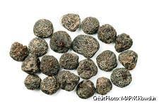 dja-bulbes-anemones-blanda-dj123.jpg