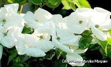 Cornus Venus de printemps