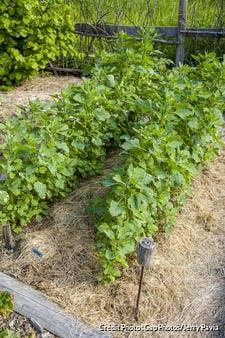 Plantule de quinoa