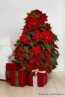 Mini sapin poinsettia en pot