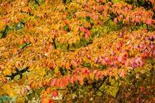 arbuste à feuillage coloré en automne