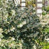 osmanthe arbuste
