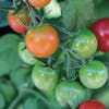 faire mûrir tomate cerise