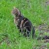 Chat dans la pelouse