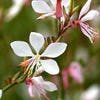 Gaura 'Whirling Butterflies'
