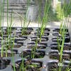 Plants d'oignons blancs