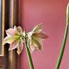Fleurs d'amaryllis