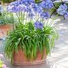 Agapanthes en jardinière