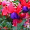 Fleur de fuchsia en gros plan