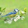 Mésange sur une branche au printemps