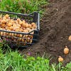 Plantation pomme de terre avec la lune