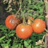 Pied de tomate mildiou