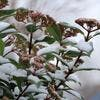 Viburnum tinus hiver neige